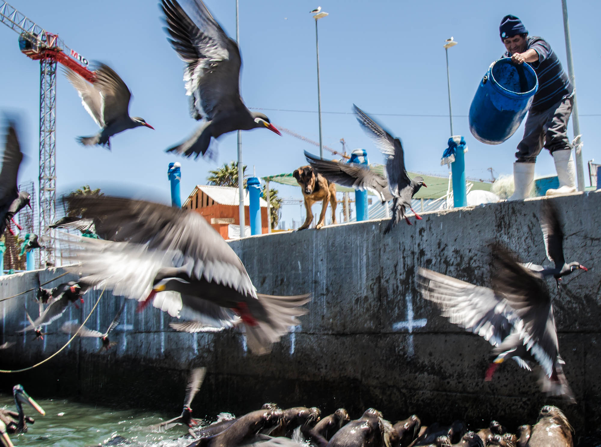 A local fisherman dumps the extra fish guts from his previous catch to the sea lions to distract them from his boats. Fishermen in Coquimbo use different tactics to distract the sea lions from their fish in the hopes that it will give them time to unload their boat.